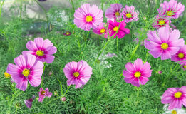Розовые цветки в саде, солнечный свет i цветков космоса красивый Стоковая Фотография RF