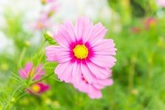 Розовые цветки в саде, солнечный свет i цветков космоса красивый Стоковая Фотография