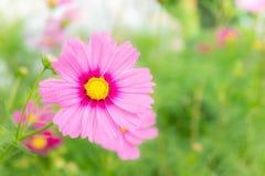 Розовые цветки в саде, солнечный свет i цветков космоса красивый Стоковые Фото
