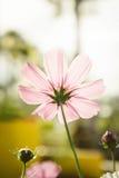 Розовые цветки в саде, солнечный свет i цветков космоса красивый Стоковые Изображения