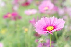 Розовые цветки в саде, солнечный свет i цветков космоса красивый Стоковое Изображение