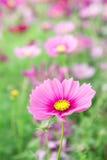Розовые цветки в саде, солнечный свет i цветков космоса красивый Стоковые Фотографии RF