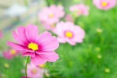 Розовые цветки в саде, солнечный свет i цветков космоса красивый Стоковое Фото