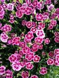 Розовые цветки гвоздики, поцелуи пинка разнообразия Стоковые Фотографии RF