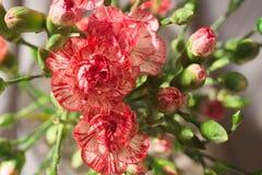 Розовые цветки гвоздики в вазе Стоковые Изображения