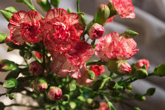 Розовые цветки гвоздики в вазе Стоковое фото RF
