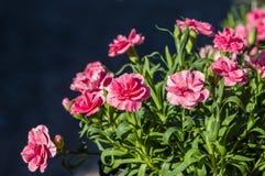 Розовые цветки гвоздики в цветени Стоковое фото RF
