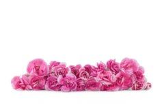 Розовые цветки гвоздики изолированные на белизне Стоковые Фото