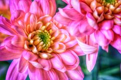 Розовые цветки георгина в стиле искусства Стоковое фото RF