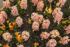Розовые цветки гиацинта в Амстердаме Стоковые Фотографии RF