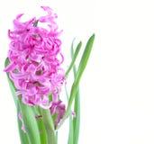 Розовые цветки гиацинта Стоковое фото RF