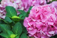 Розовые цветки гортензии в саде, естественной предпосылке картин стоковые изображения rf