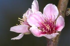 Розовые цветки дерева Prunus Persica персика Стоковая Фотография RF