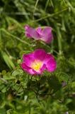 Розовые цветки леса Стоковая Фотография RF