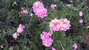 Розовые цветки желтого цвета 2 в цветени Стоковое Изображение