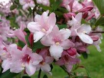 Розовые цветки, зацветая дерево Стоковые Фотографии RF