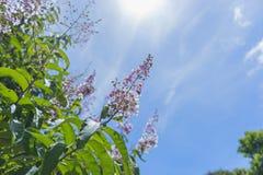Розовые цветки и белая предпосылка облака и голубых неба Стоковые Фотографии RF