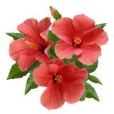 Розовые цветки и бутоны гибискуса Стоковые Фотографии RF