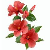 Розовые цветки и бутоны гибискуса Стоковая Фотография