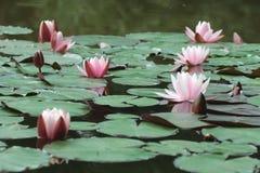 Розовые цветки и зеленые круглые листья лилий воды Стоковое Изображение