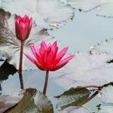 Розовые цветки лилии воды в озере Стоковые Фото