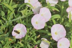 Розовые цветки и пчела вьюнка поля Стоковое Изображение RF