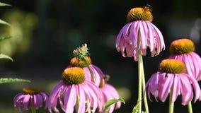 Розовые цветки и пчелы маргаритки летом сток-видео