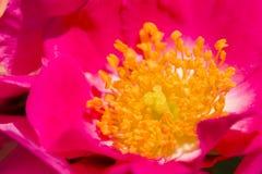 Розовые цветки и цветене бутонов полностью Стоковое фото RF
