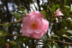Розовые цветки - камелия стоковое фото