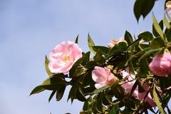 Розовые цветки - камелия Стоковая Фотография