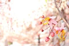 Розовые цветки кассии Стоковые Фото