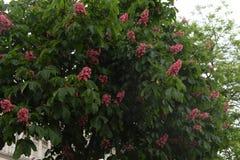 Розовые цветки каштанов Стоковая Фотография RF