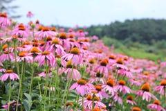 Розовые цветки конуса стоковые фотографии rf