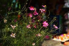 Розовые цветки космоса на восходе солнца Стоковые Фотографии RF