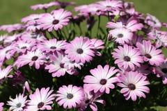 Розовые цветки, красивый фиолетовый цветок Стоковое Фото