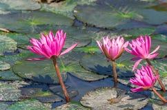 Розовые цветки лотоса в пруде Стоковая Фотография RF