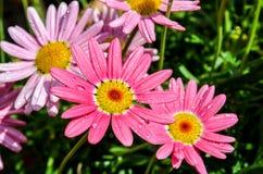 Розовые цветки маргаритки Стоковые Изображения RF