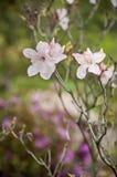 Розовые цветки на ветви Стоковое Изображение RF