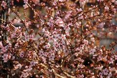 Розовые цветки на дереве Стоковые Фото