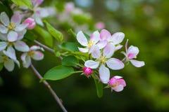 Розовые цветки на дереве Стоковая Фотография RF