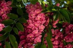 Розовые цветки на зацветая дереве черной саранчи в предыдущей весне Стоковое Изображение RF
