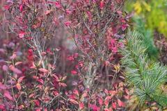 Розовые цветки на рододендроне вызвали ` попирания пункта ` стоковые изображения rf