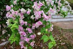 Розовые цветки на саде стоковое фото rf
