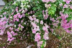 Розовые цветки на саде стоковая фотография