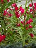 Розовые цветки олеандра - Puteaux, Иль-де-Франс Стоковая Фотография