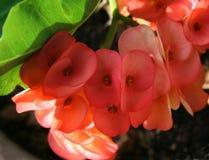 Розовые цветки орхидеи Стоковое Изображение RF