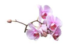 Розовые цветки орхидеи Стоковое Изображение