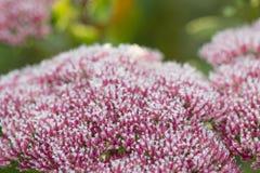 Розовые цветки очитка (Sedum) с частями льда и снега Autu Стоковые Фото