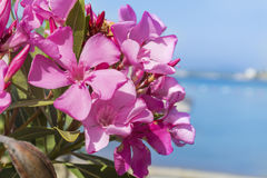 Розовые цветки олеандра на пляже Стоковые Фото