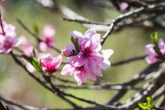 Розовые цветки персика цветений на зеленом цвете Стоковые Фото